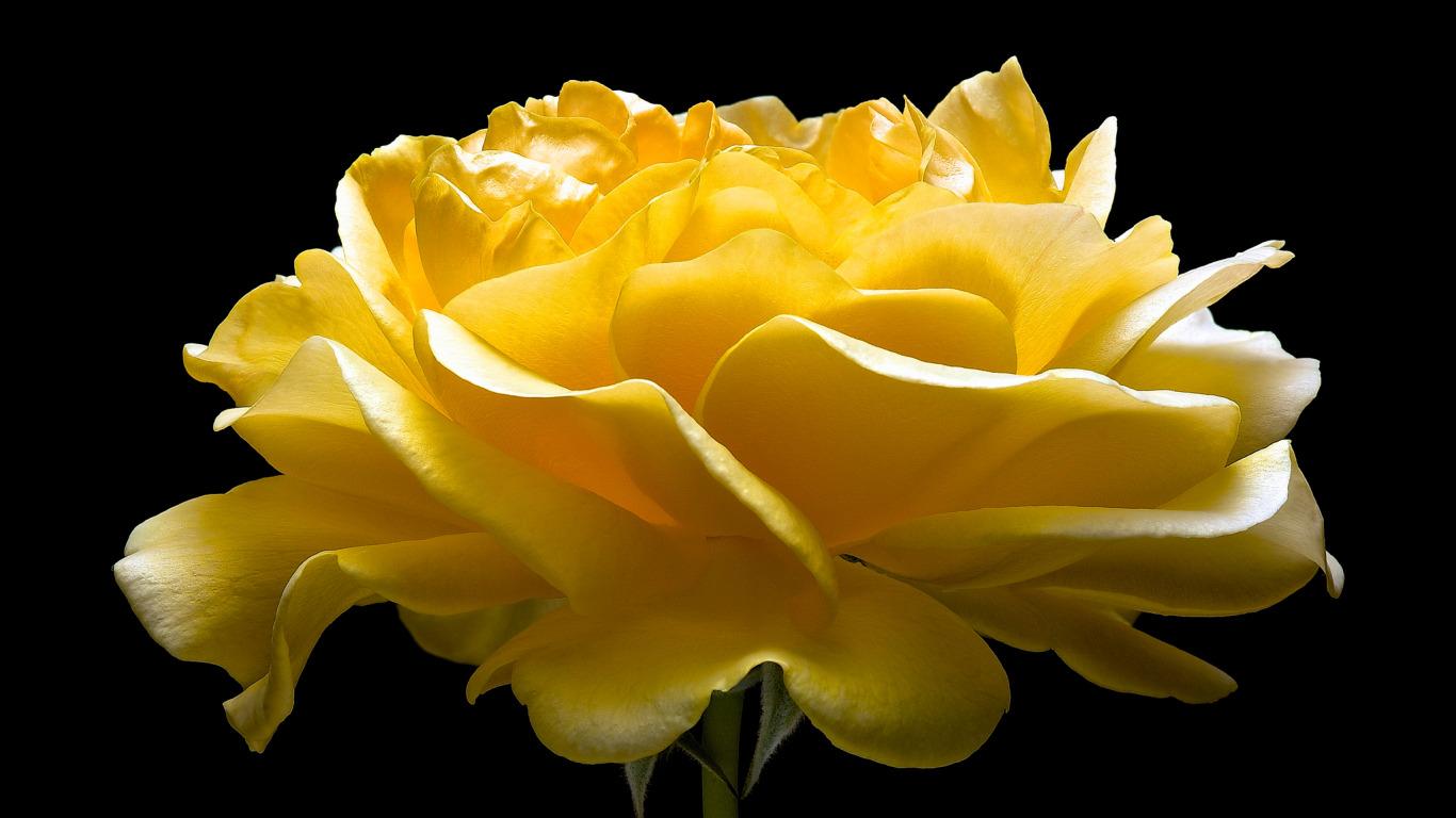 http://img2.badfon.ru/original/1366x768/b/e2/roza-lepestki-buton-makro-6338.jpg