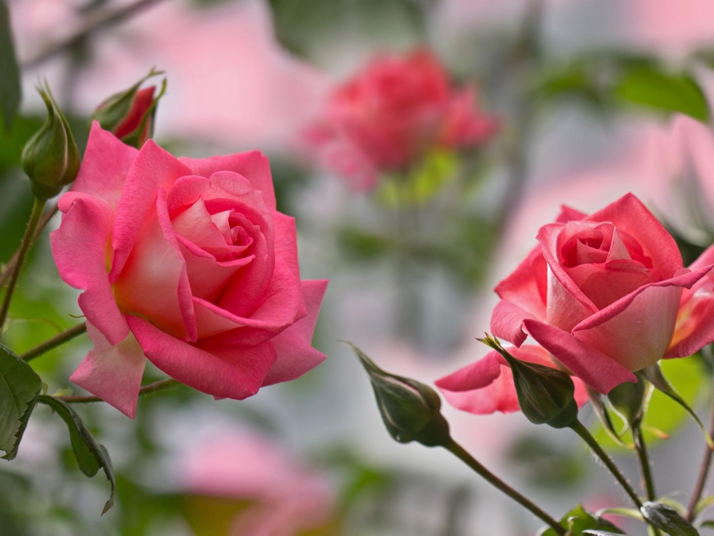 обои для раб стола розовые розы № 583765 без смс