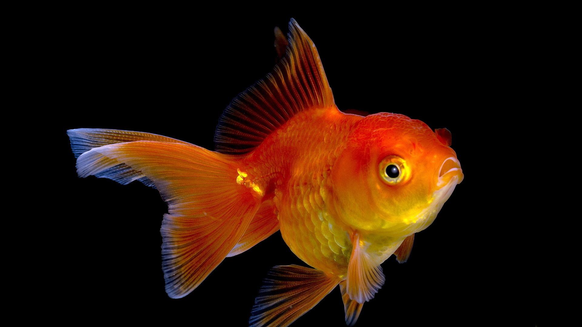 cute fish names for black goldfish photos