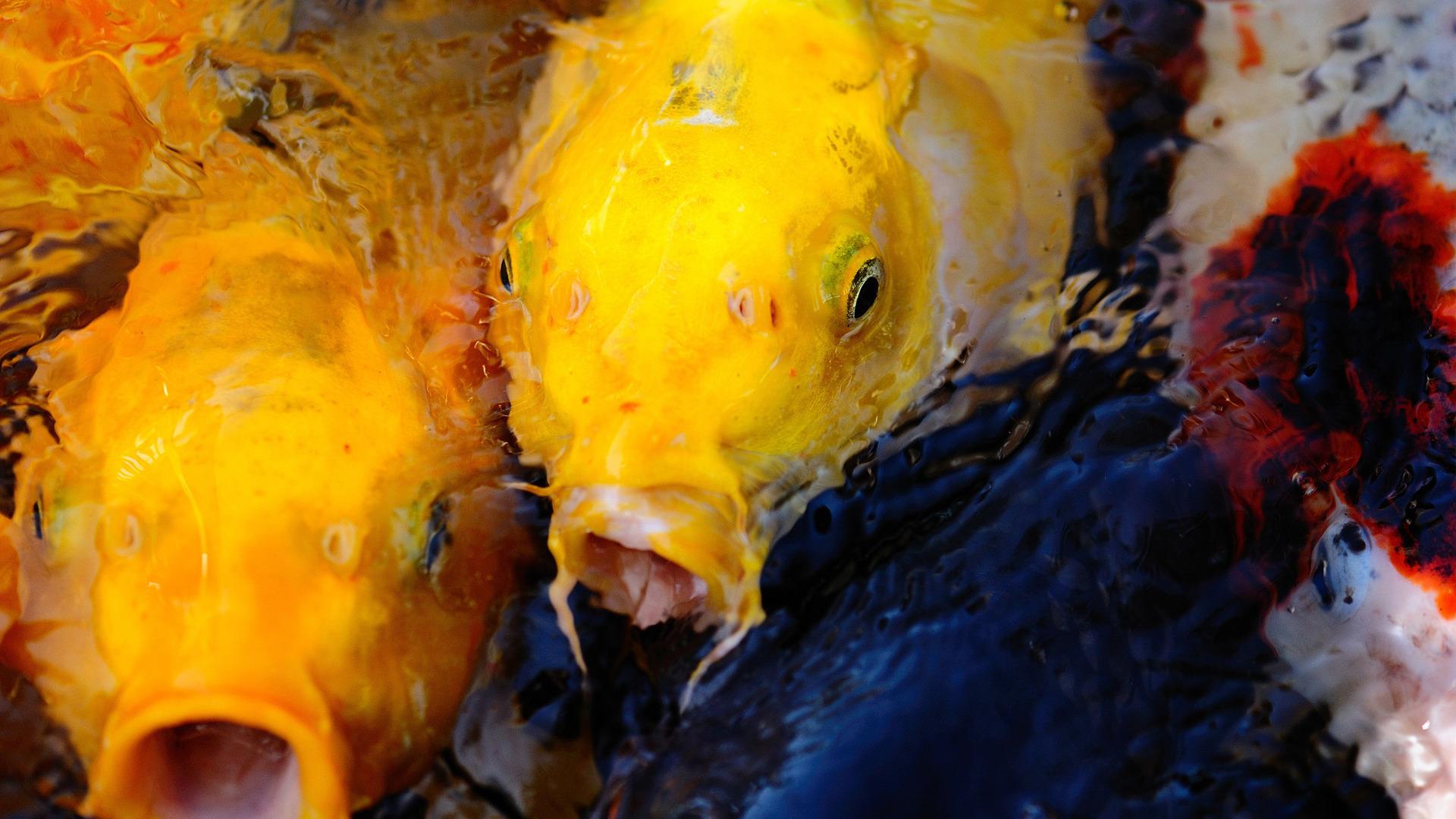 Желтая рыбка  № 1707602 загрузить