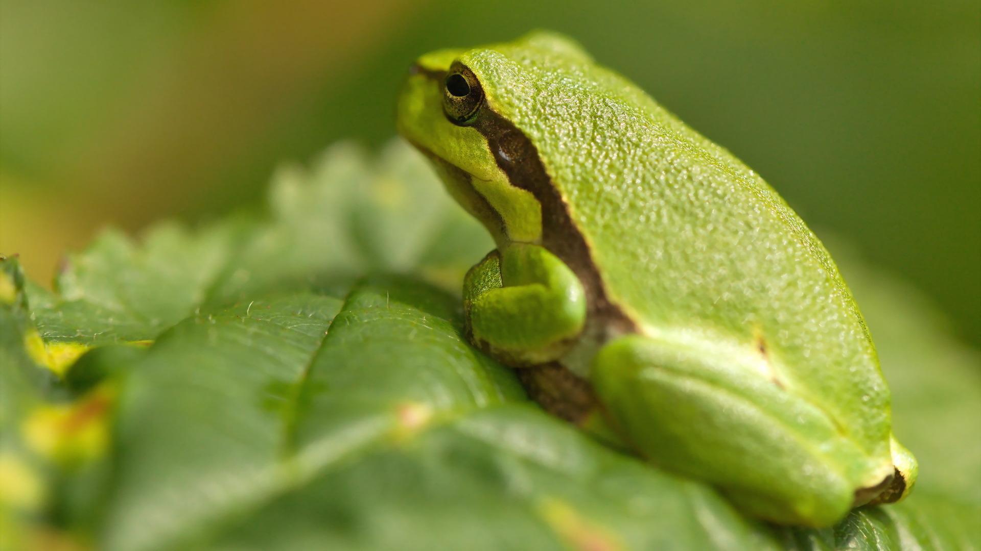 растение лягушка животное природа лист  № 1423180 загрузить