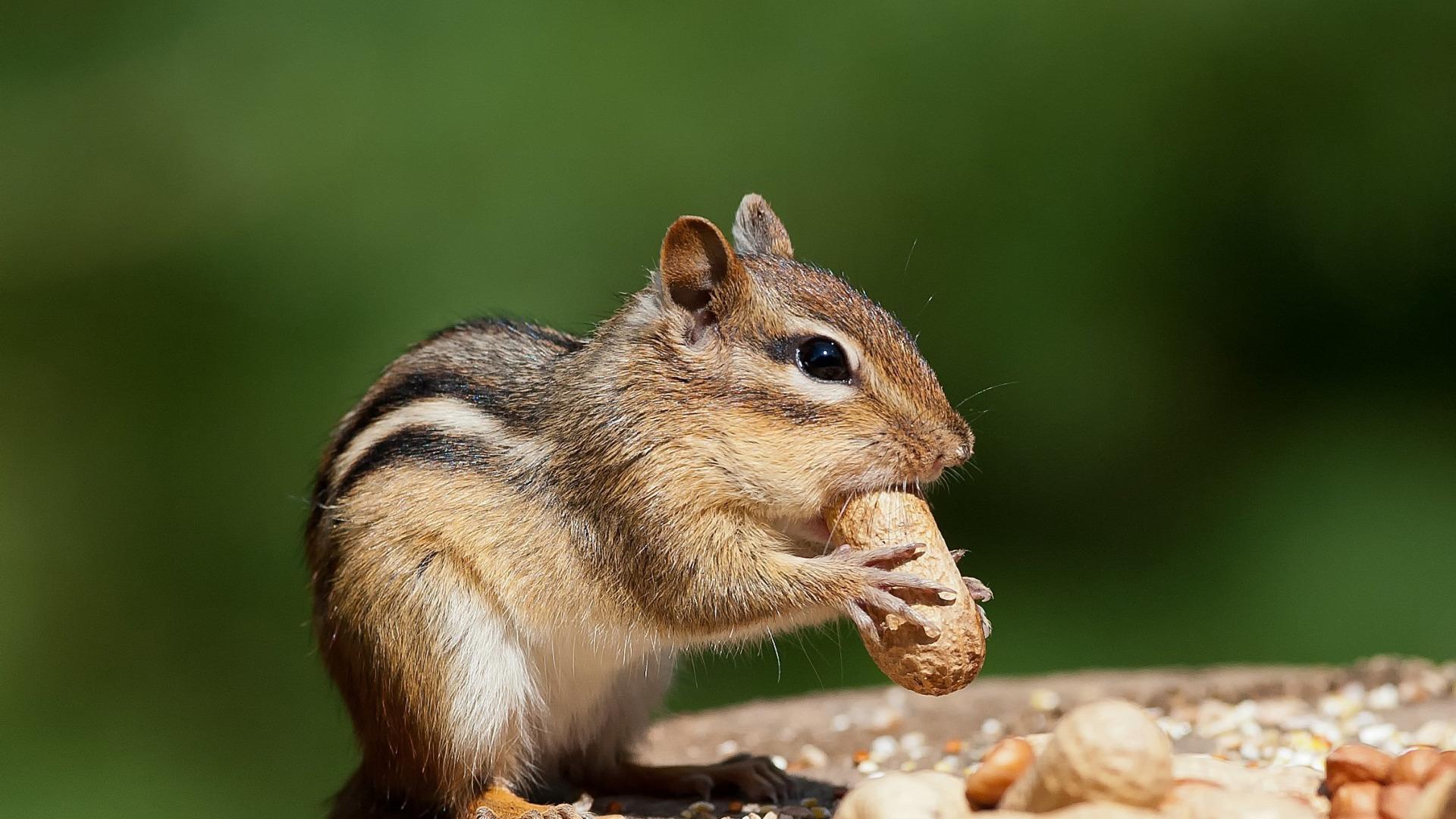 бурундук с арахисом  № 136391 загрузить