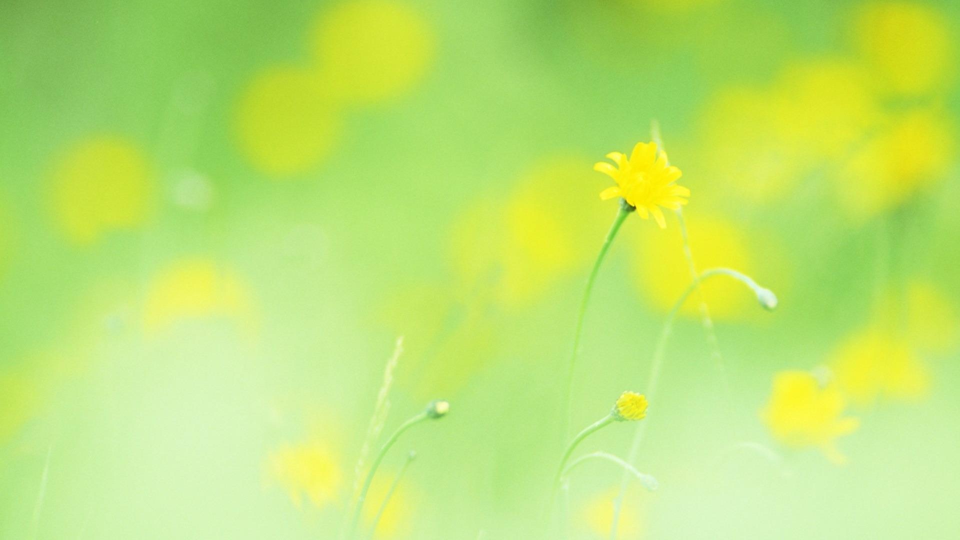 Желтые ромашки цветы желтые цветы размытость  № 3831095 без смс