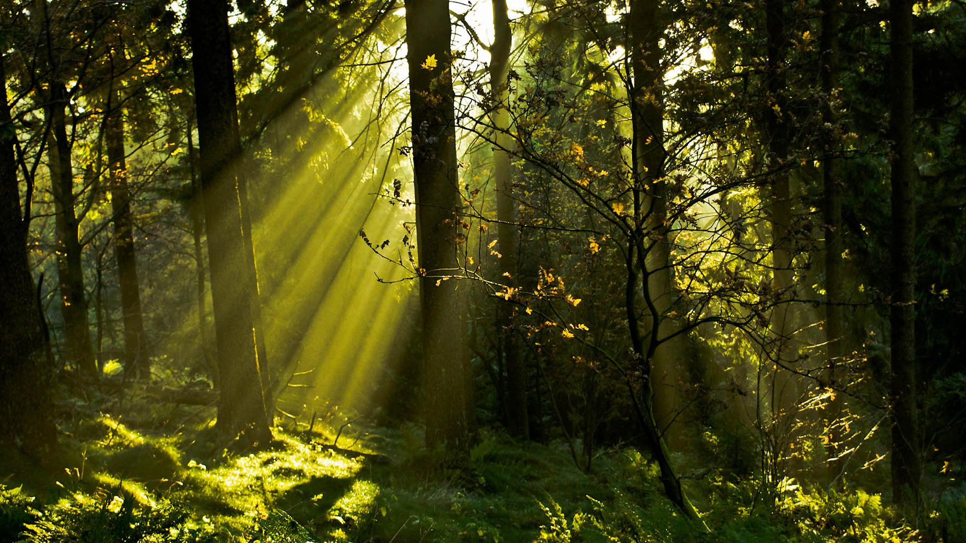 лес деревья солнечные лучи  № 917555  скачать