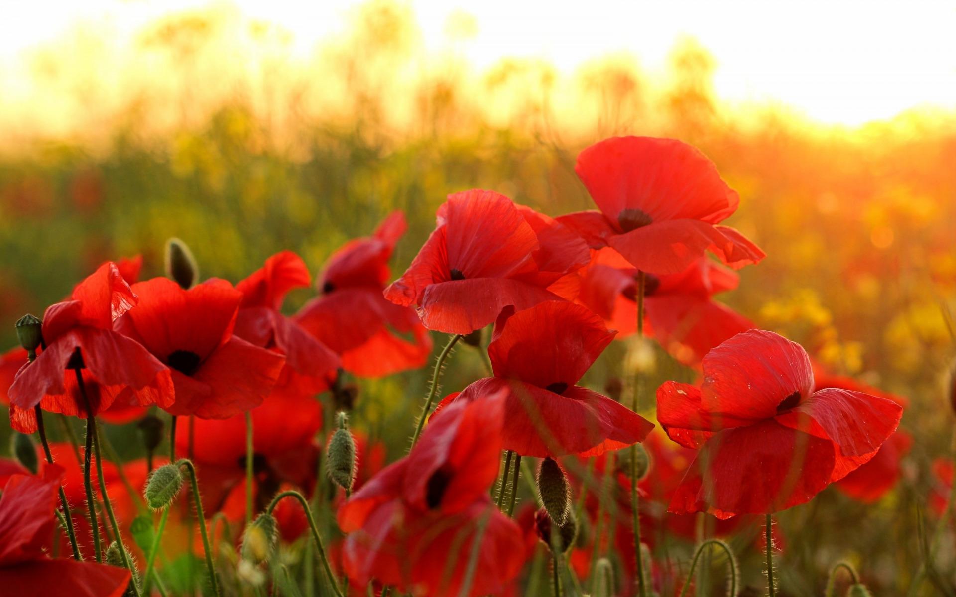 Красные маки цветы фото