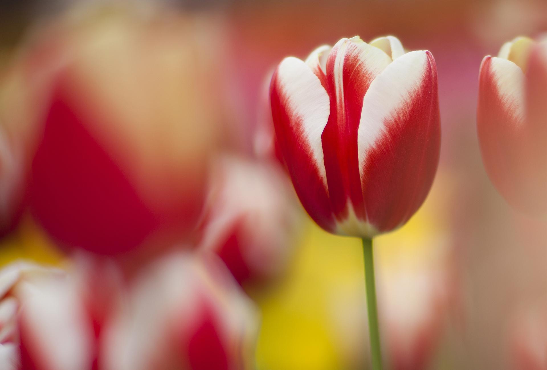 макро цветы красные природа тюльпаны  № 3286362  скачать