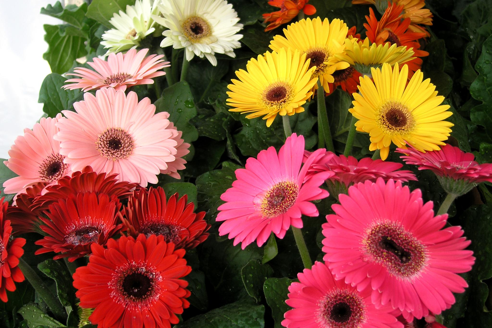 Фото цветка герберы