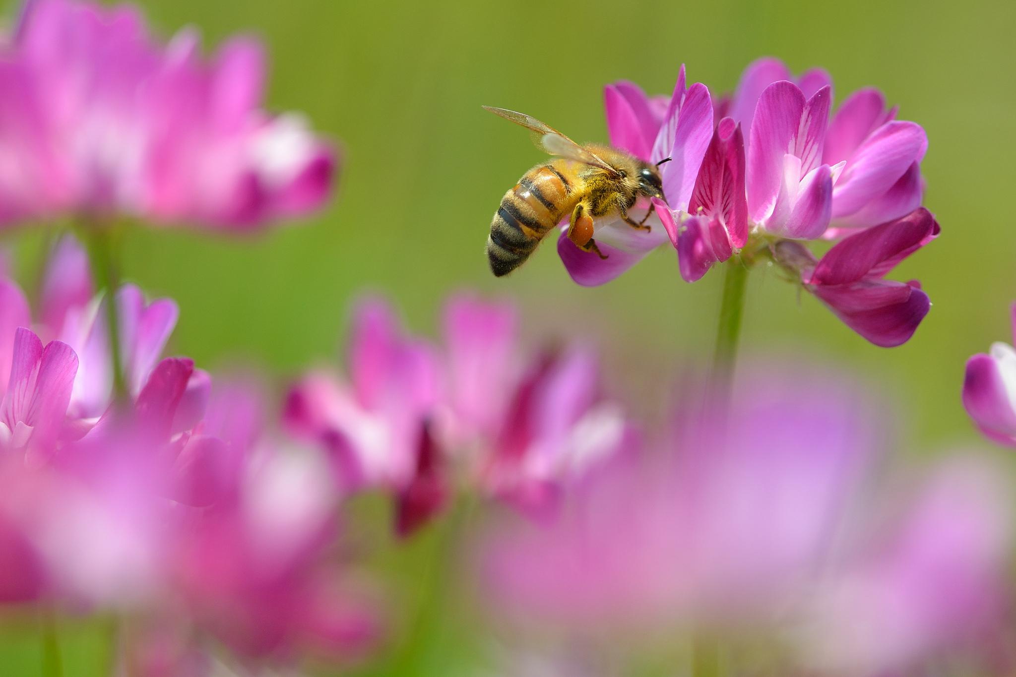 пчела цветы розовые flowers pink bee  № 910775 загрузить
