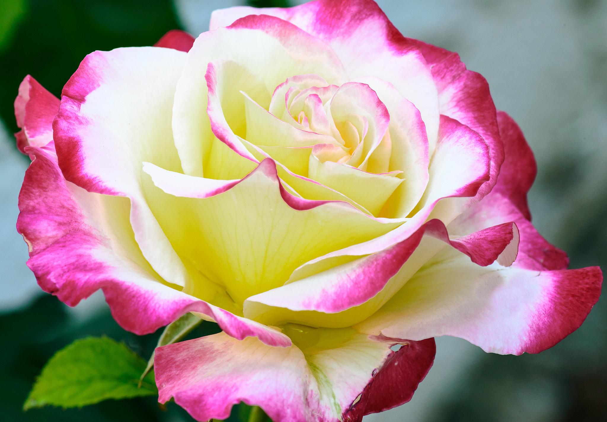 самая красивая роза в мире картинка культуру