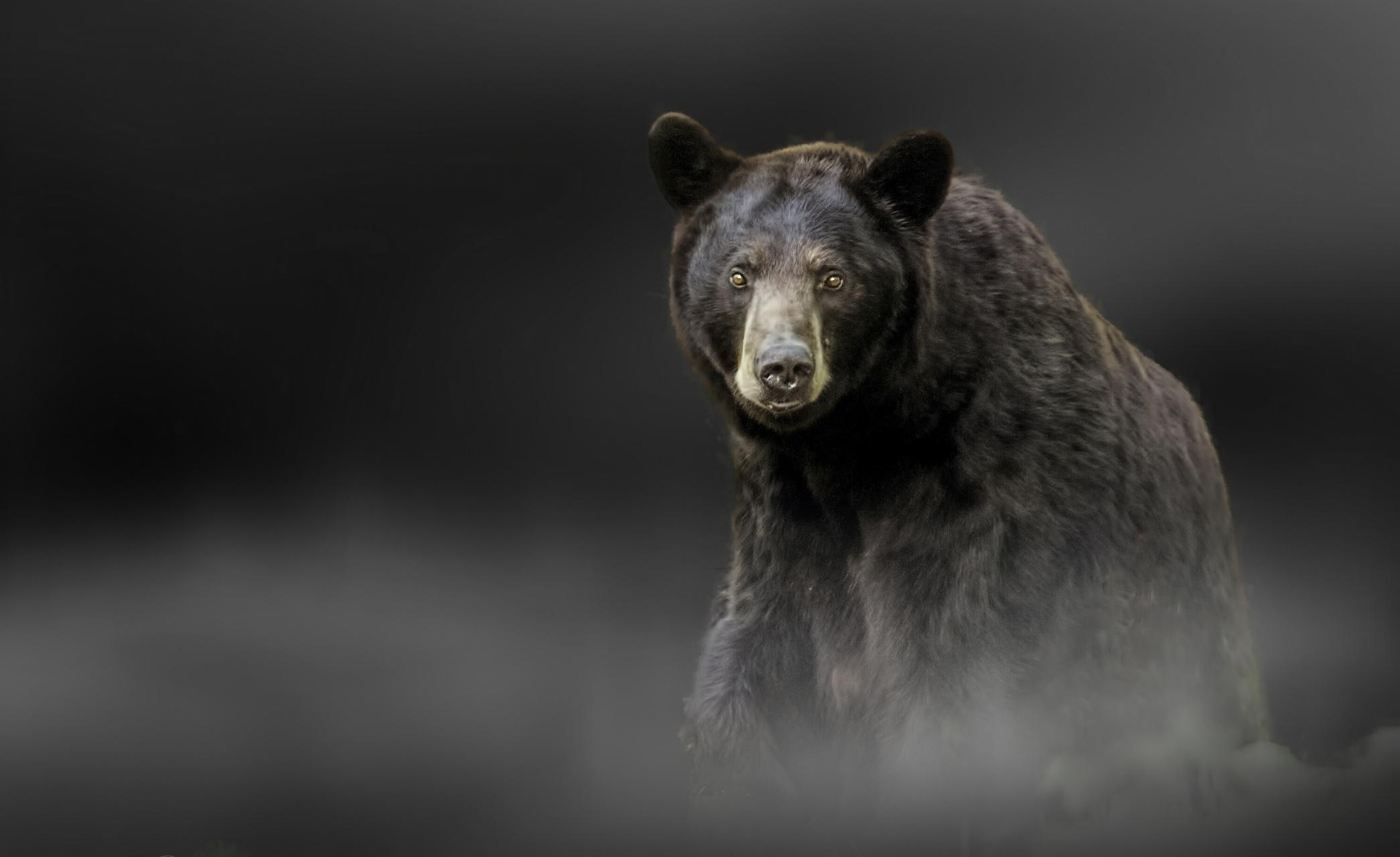 Черны медведь  № 3207598 без смс