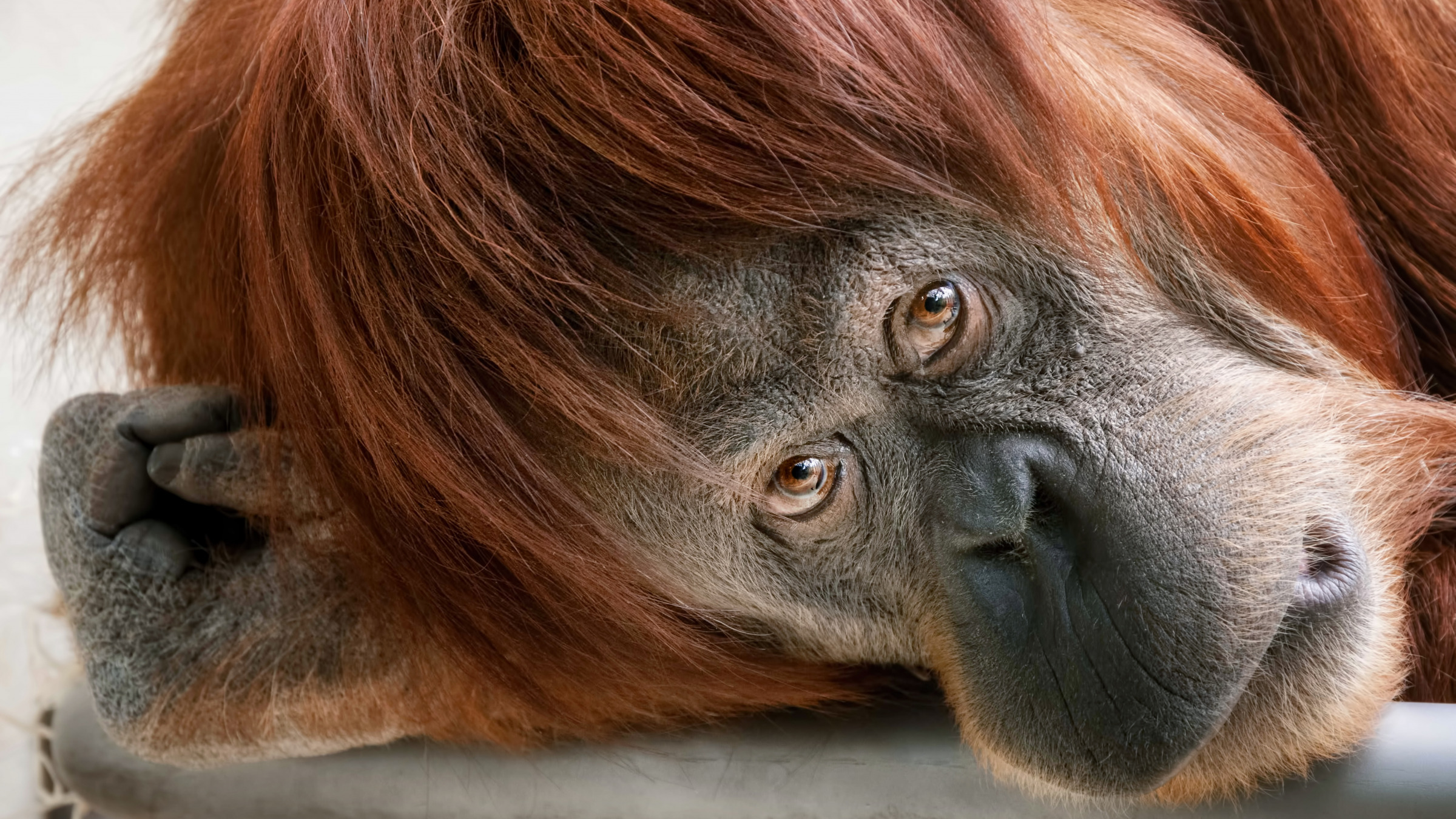 Orangutan tit free pic fucks tubes