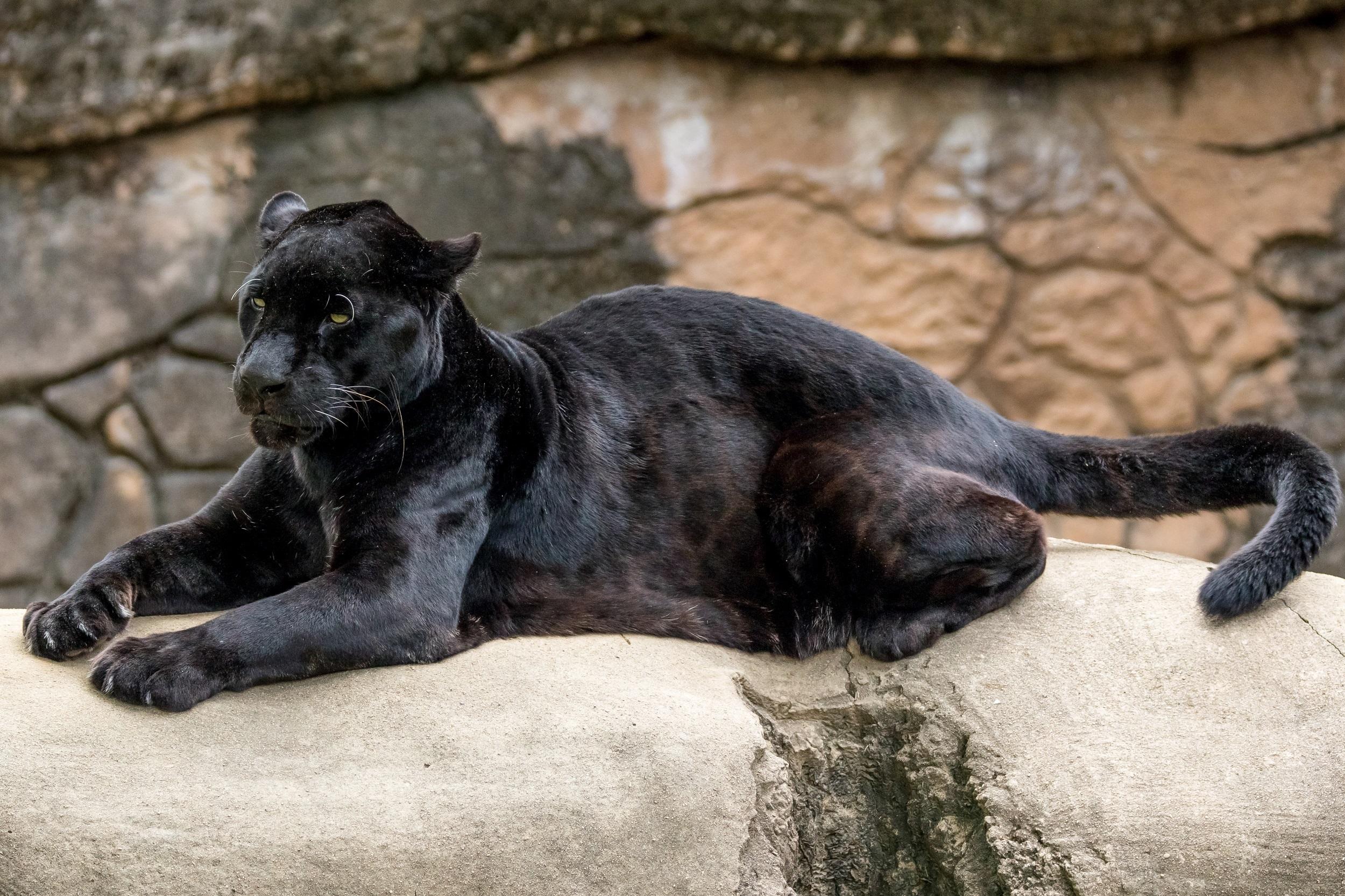 Пантера в картинках, сестре