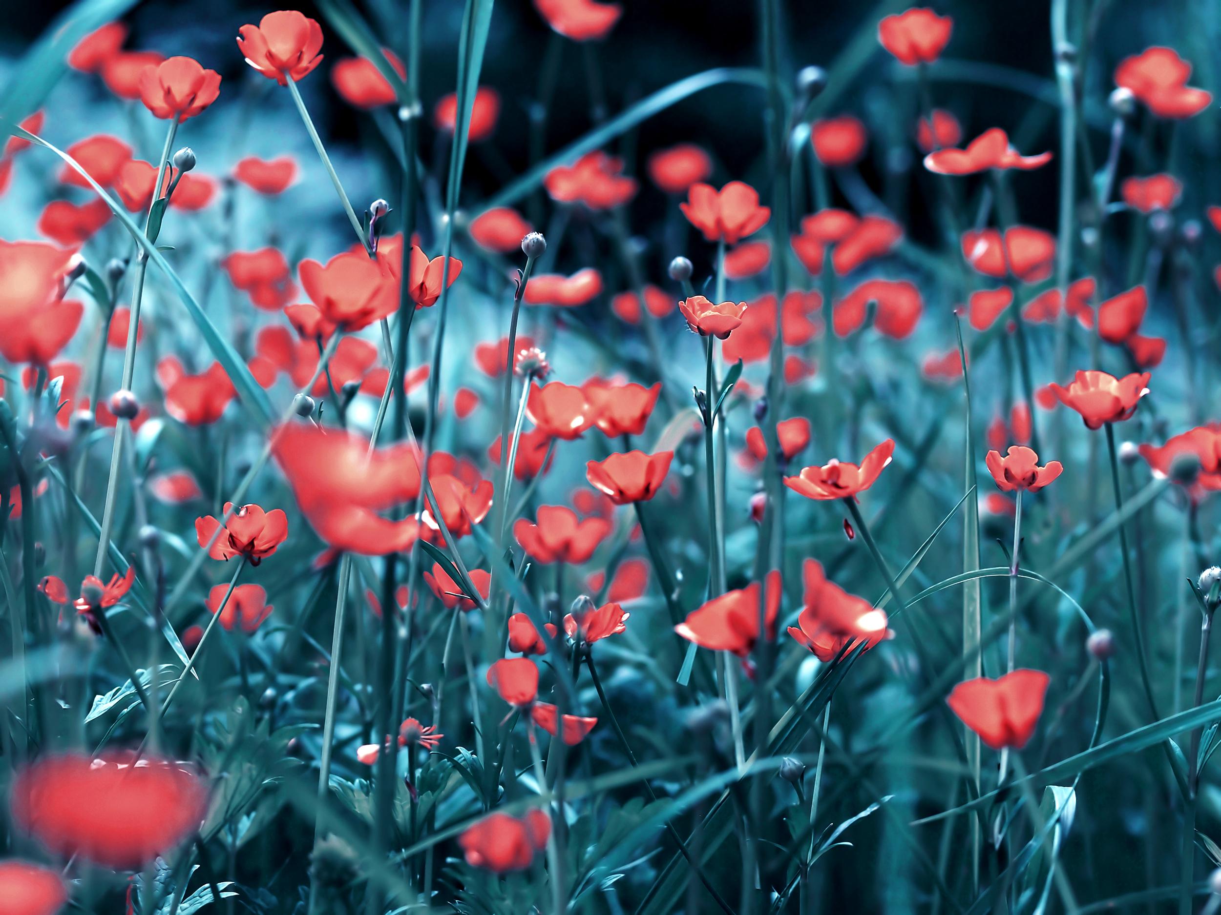 поле маки цветы  № 1877329 бесплатно