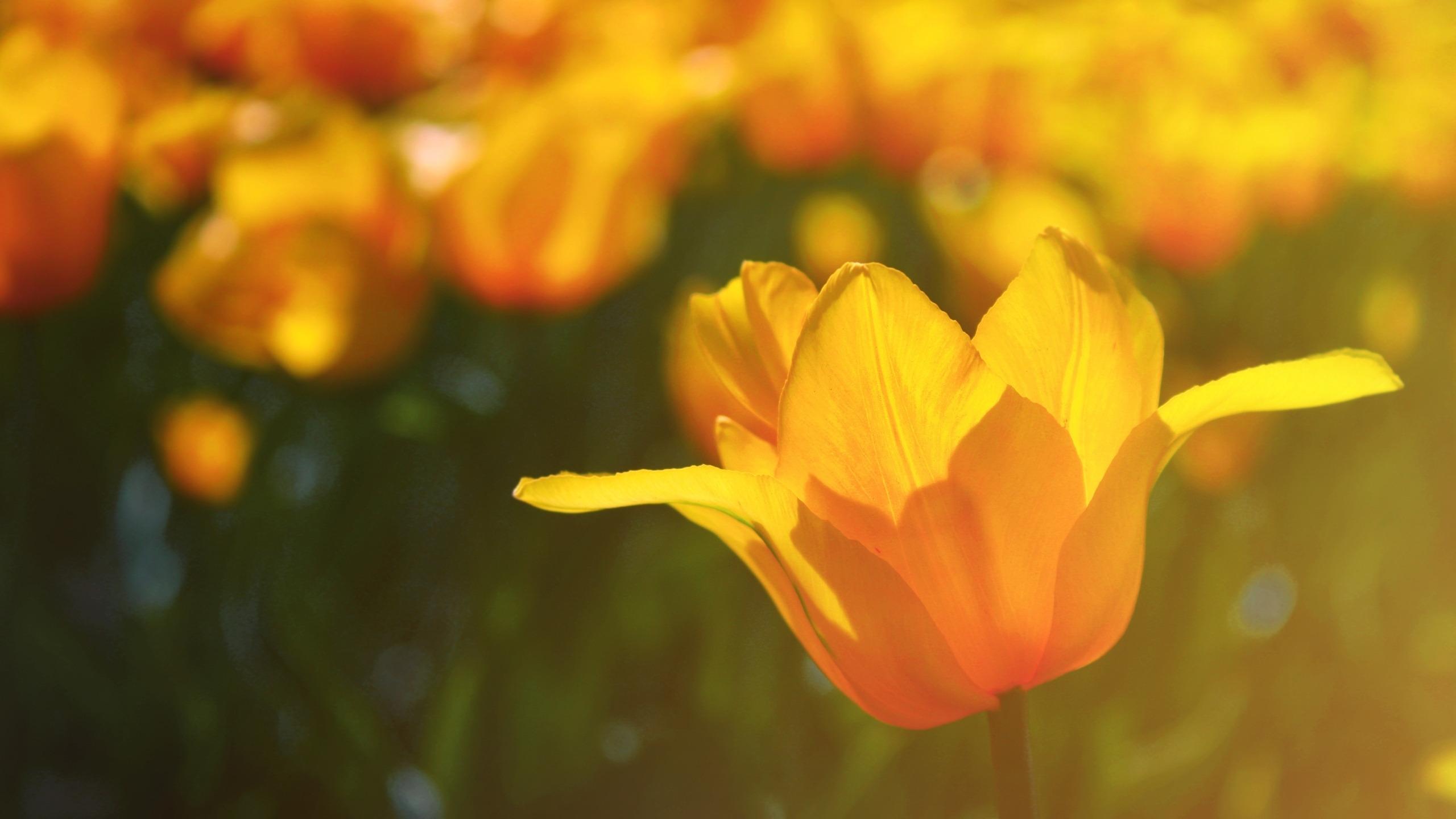 тюльпаны свет цветы  № 736282 без смс