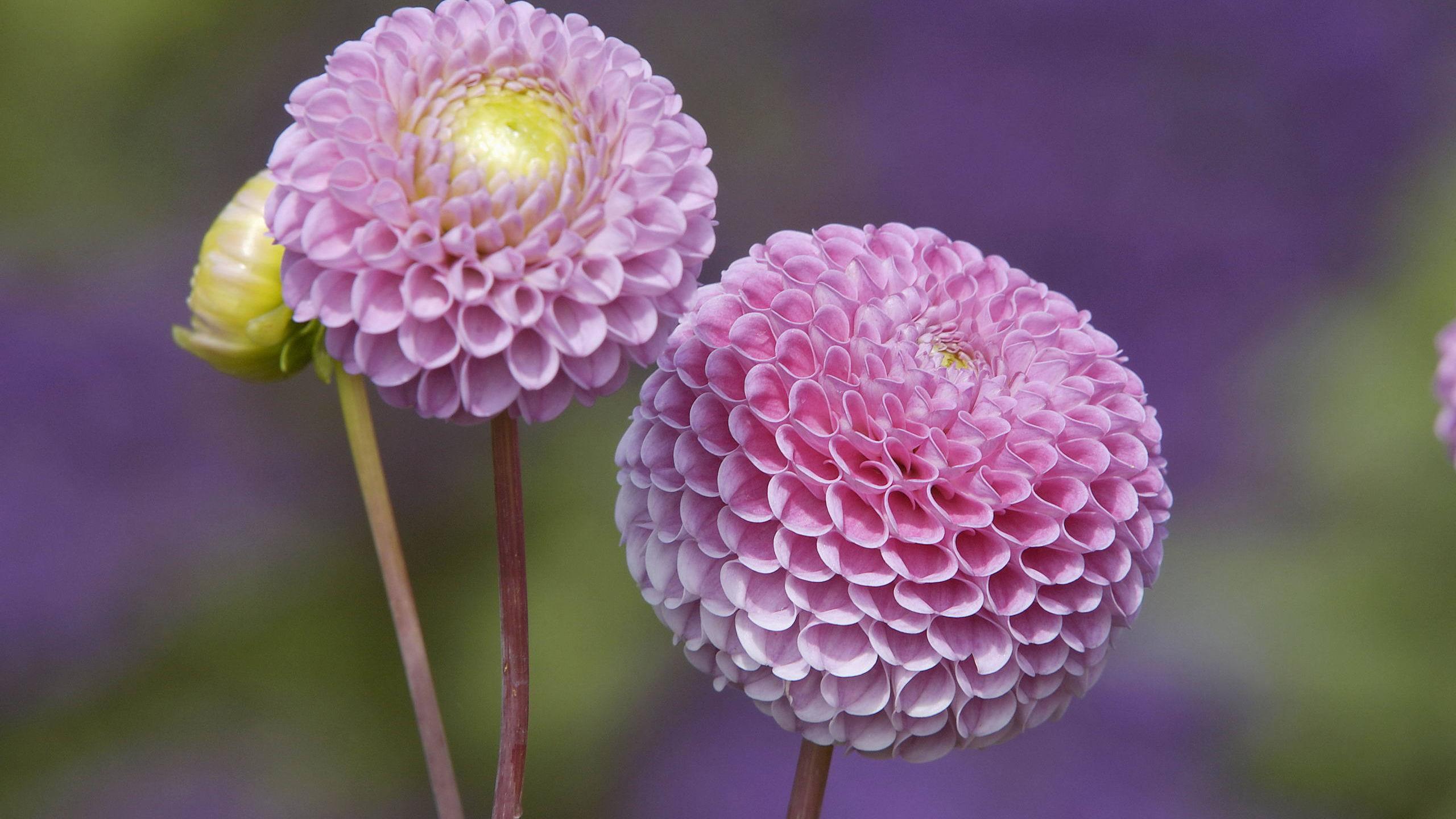 Цветы с круглыми бутонами