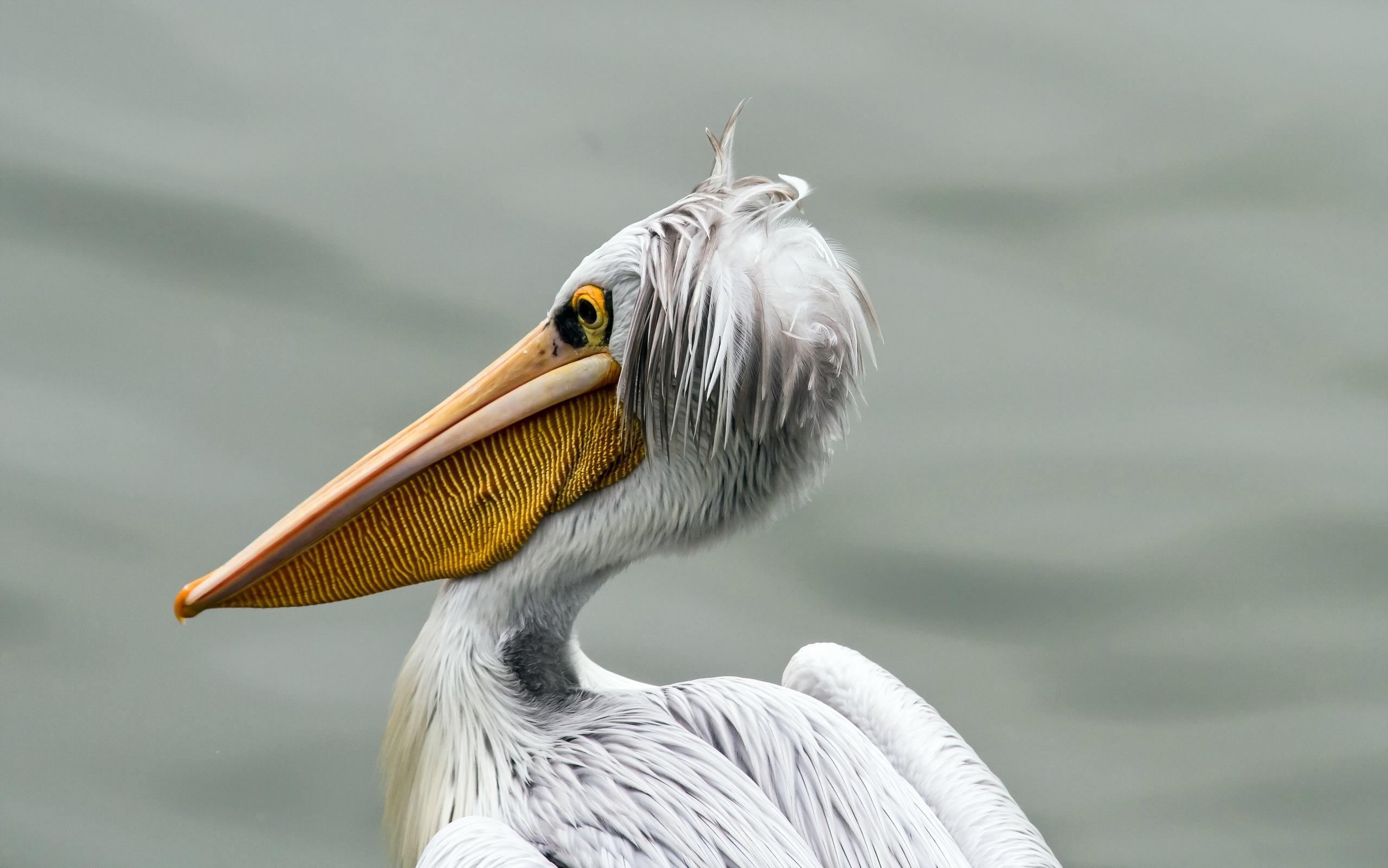 pelicans - HD2560×1600