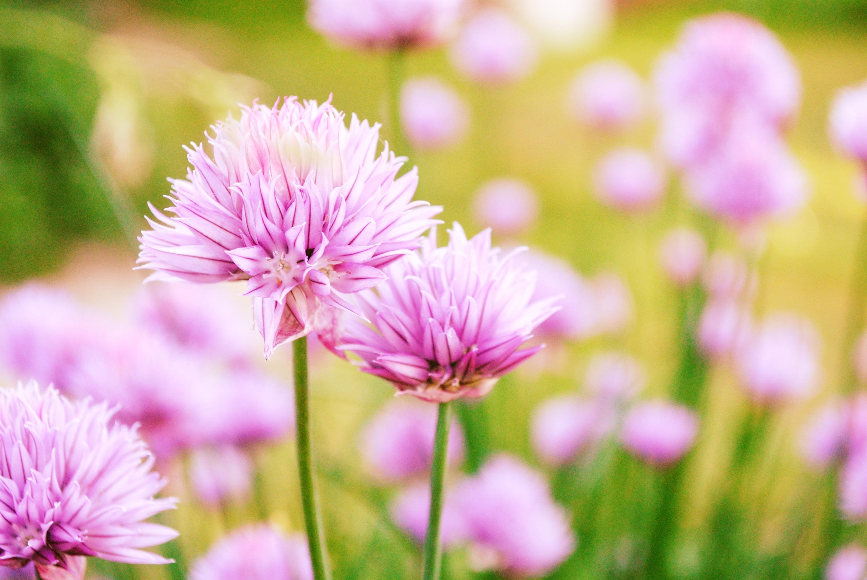 Цветы клевер  № 1341298 без смс