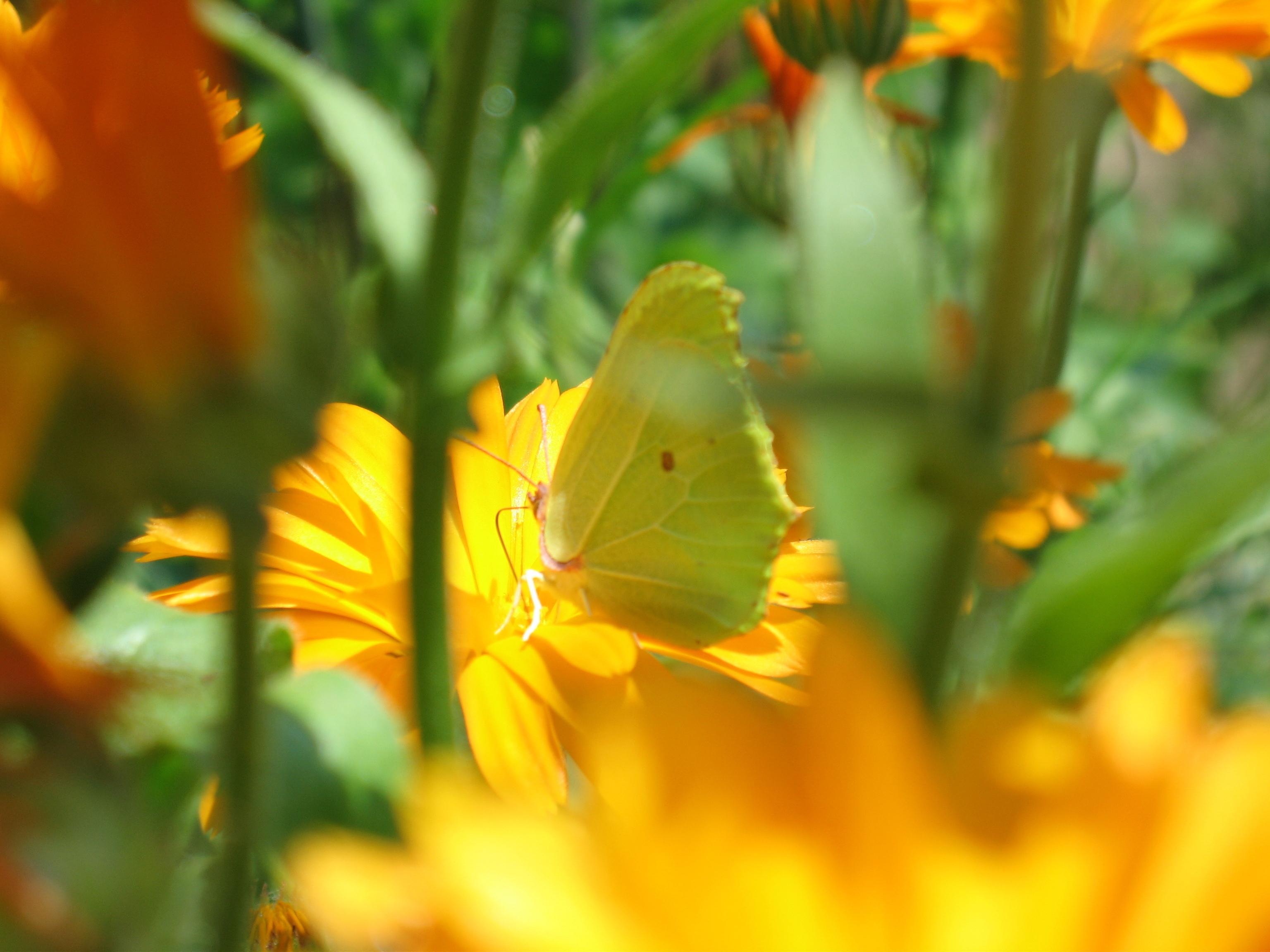 природа макро бабочка цветы желтые  № 1238576  скачать