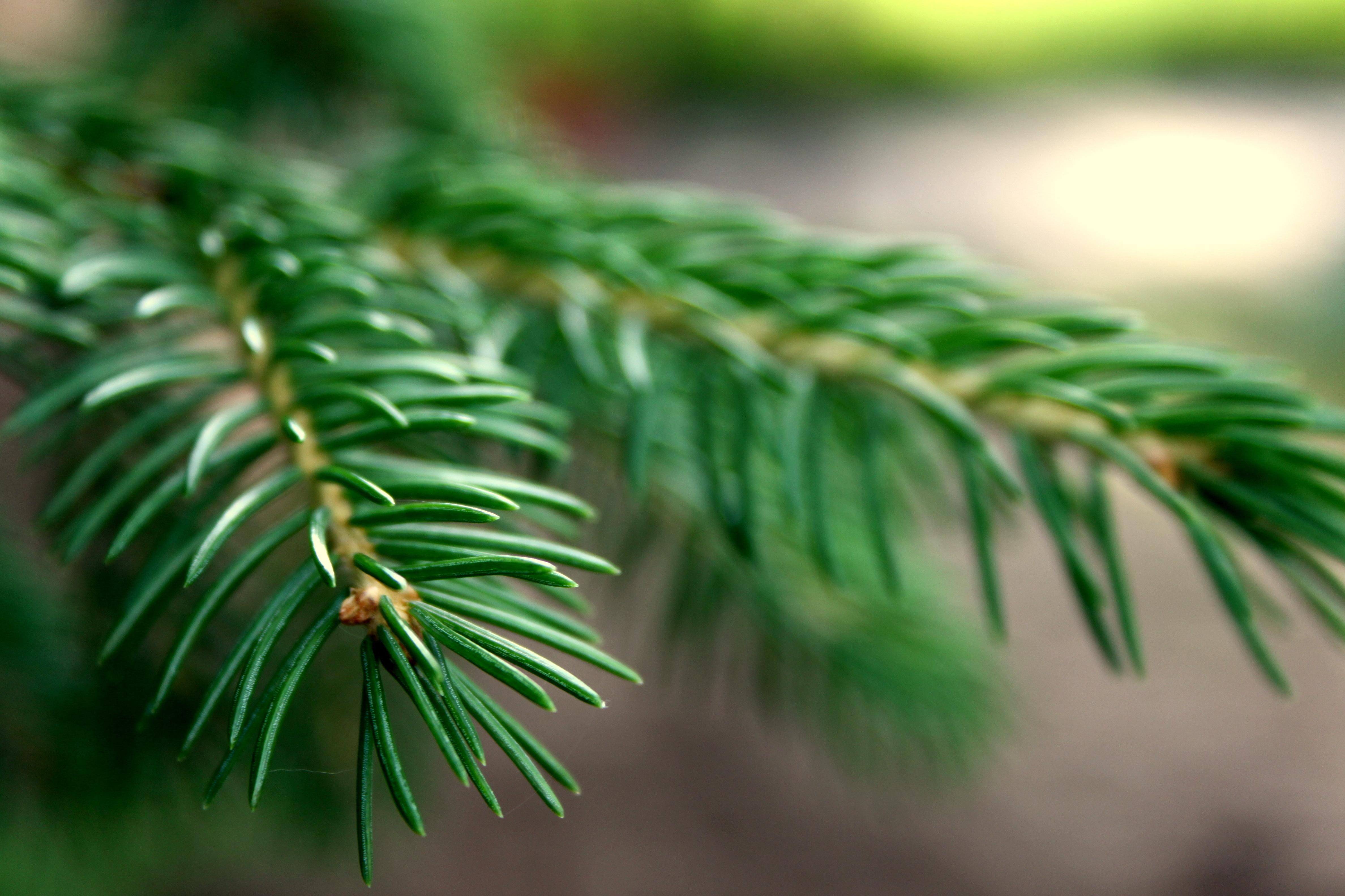 природа деревья ель  № 316143 загрузить