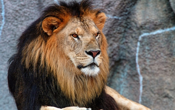 Фото обои кошка, взгляд, хищник, лев, грива
