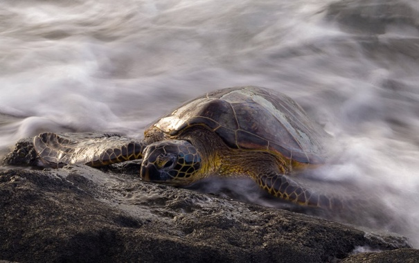 Фото обои природа, фон, черепаха