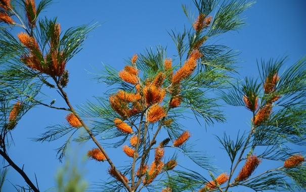 Фото обои небо, иголки, ветки, дерево
