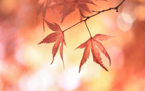 Фото обои листья, блики, ветка, красные, японский клен