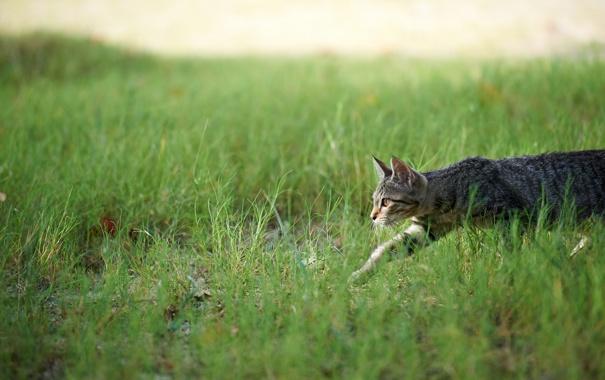 Фото обои кошка, трава, охота, крадется
