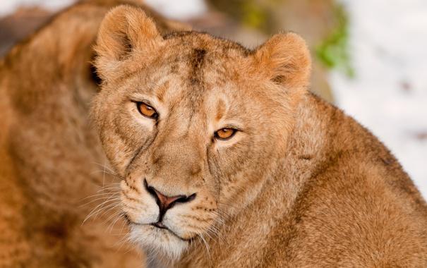 Фото обои взгляд, морда, Лев, львица, большая кошка