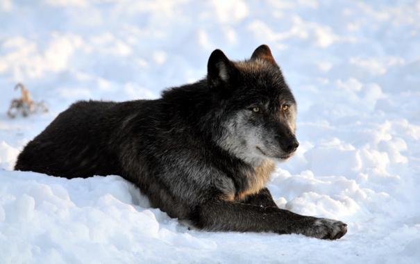 Фото обои снег, чёрный, отдых, волк, хищник