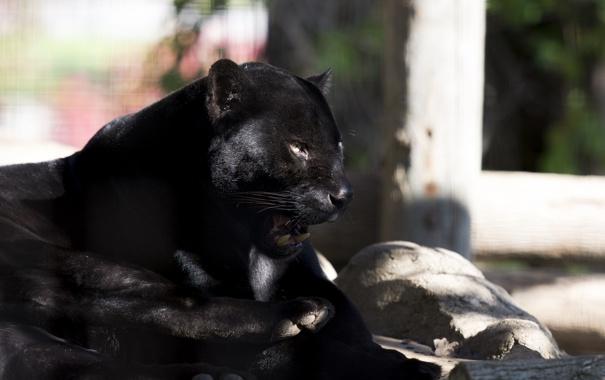 Фото обои хищник, пантера, лежит, ягуар, дикая кошка, зоопарк