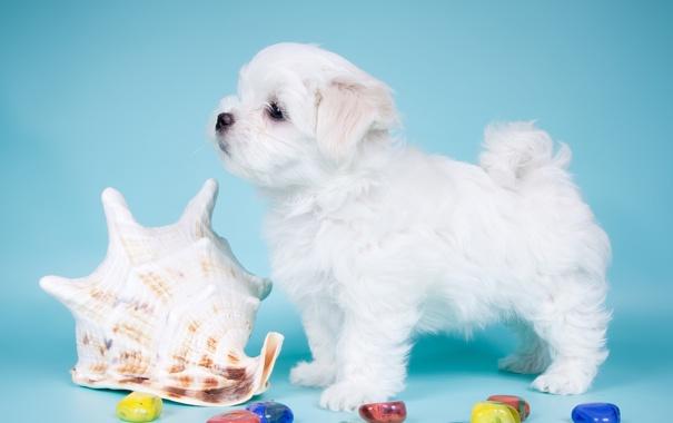 Фото обои белый, ракушка, милый, щенок, профиль