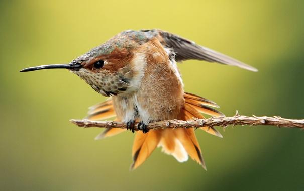 Фото обои птица, ветка, колибри, оперение