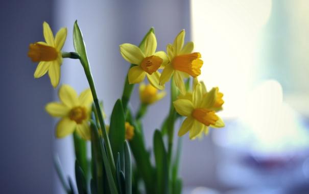 Фото обои цветы, фон, нарцисы