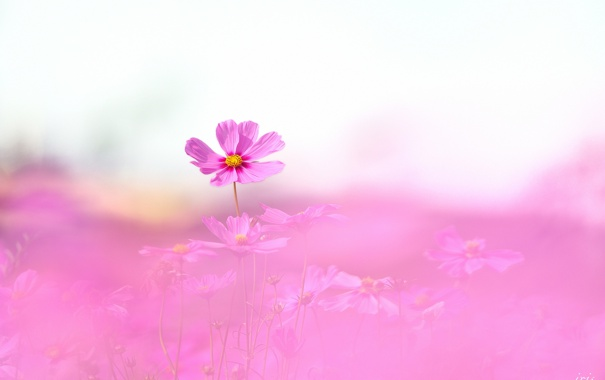 Фото обои поле, розовая, фокус, много, космея