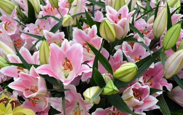Фото обои лилии, розовые, бутоны, цветение, pink, Lily, buds