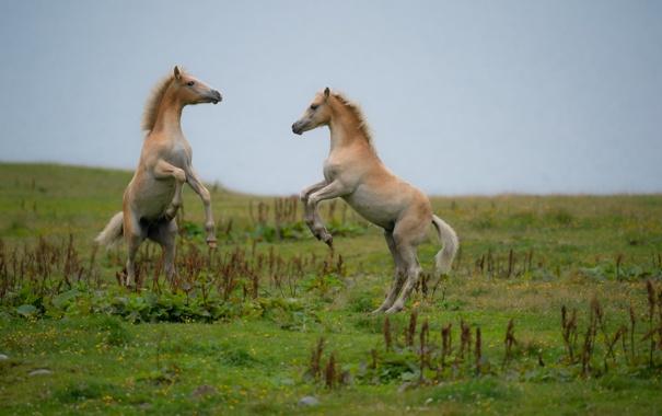 Фото обои поле, природа, кони