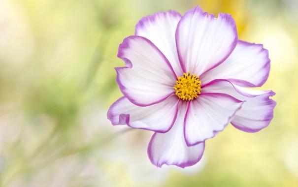 Фото обои цветок, краски, лепестки, космея
