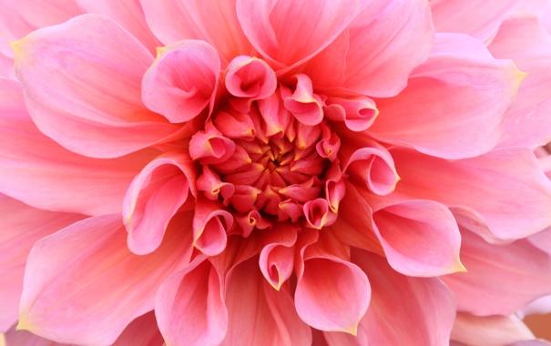 Фото обои цветок, розовый, георгин