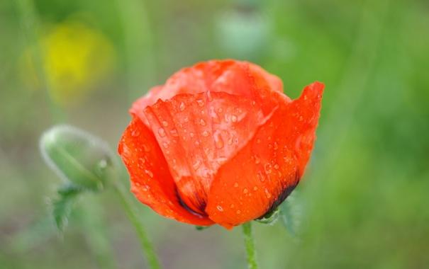 Фото обои цветок, лето, вода, капли, макро, красный, яркий