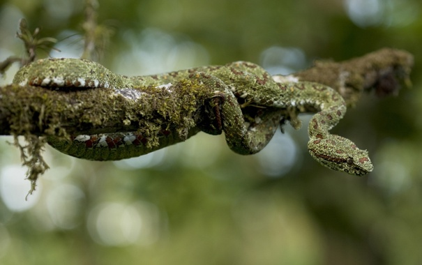Фото обои мох, змея, ветка