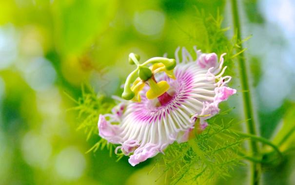 Фото обои тычинка, цветок, пестик, Пассифлора, розовая, лепестки