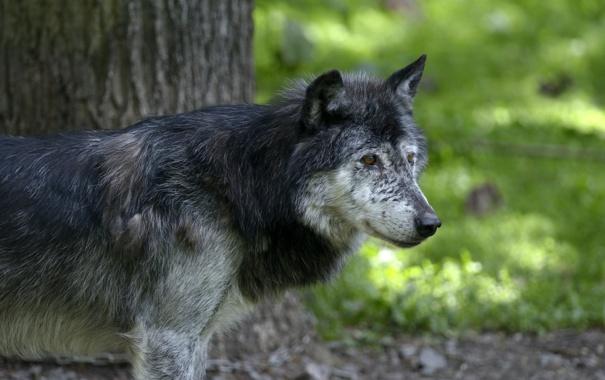 Фото обои серый, волк, хищник, профиль