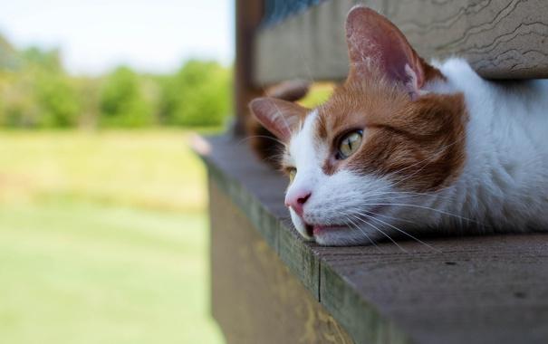Фото обои кот, отдых, рыжий, лежит