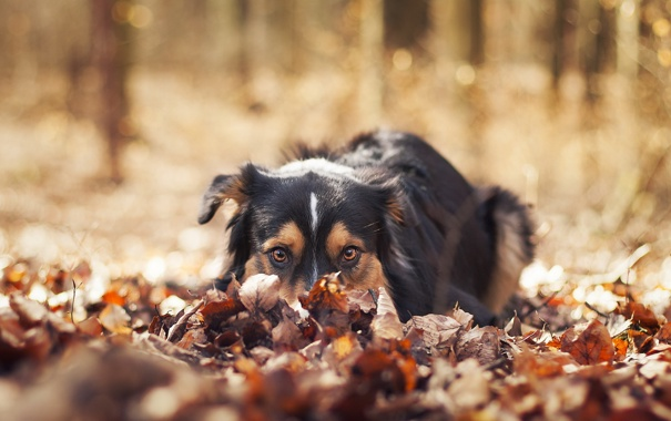 Фото обои взгляд, листья, друг, собака