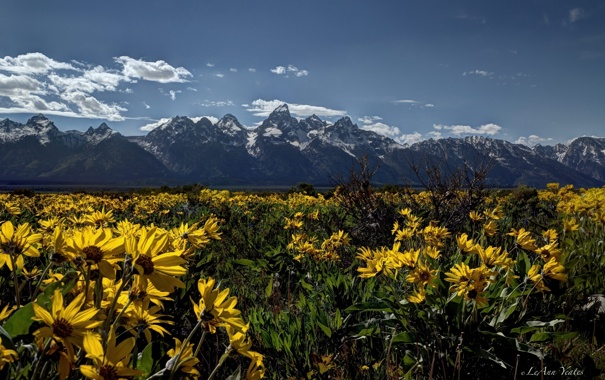Фото обои цветы, луг, Вайоминг, Wyoming, Гранд-Титон, Grand Teton National Park, Скалистые горы