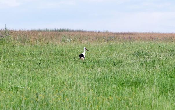 Фото обои поле, аист, природак