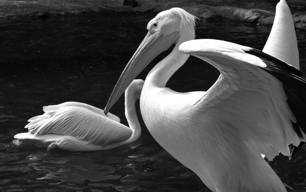 Фото обои вода, черно-белое, птички, пеликан