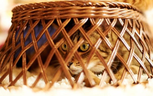 Фото обои кошка, кот, корзина, игра, прутья