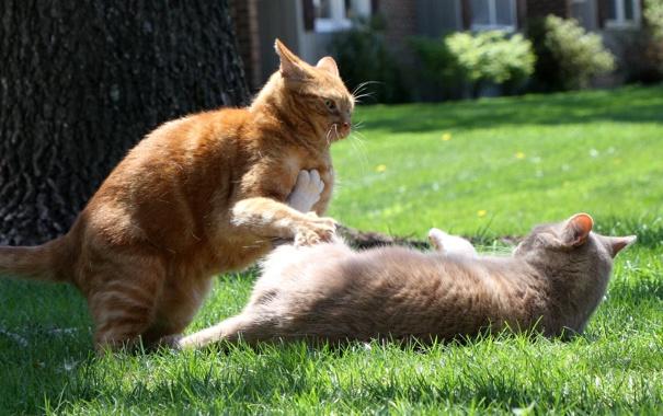 Фото обои лето, коты, драка, лужайка